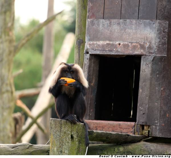 Who'll Take The Lion-Tailed Macaque to France?